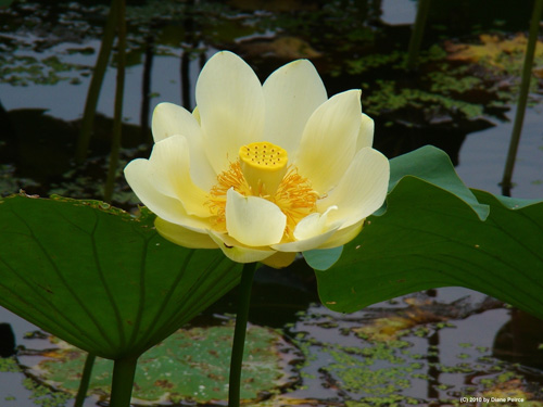 Permaculture plants water lotus temperate climate permaculture permaculture plants water lotus mightylinksfo