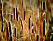 Cattails01b