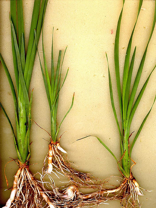 Cattails08
