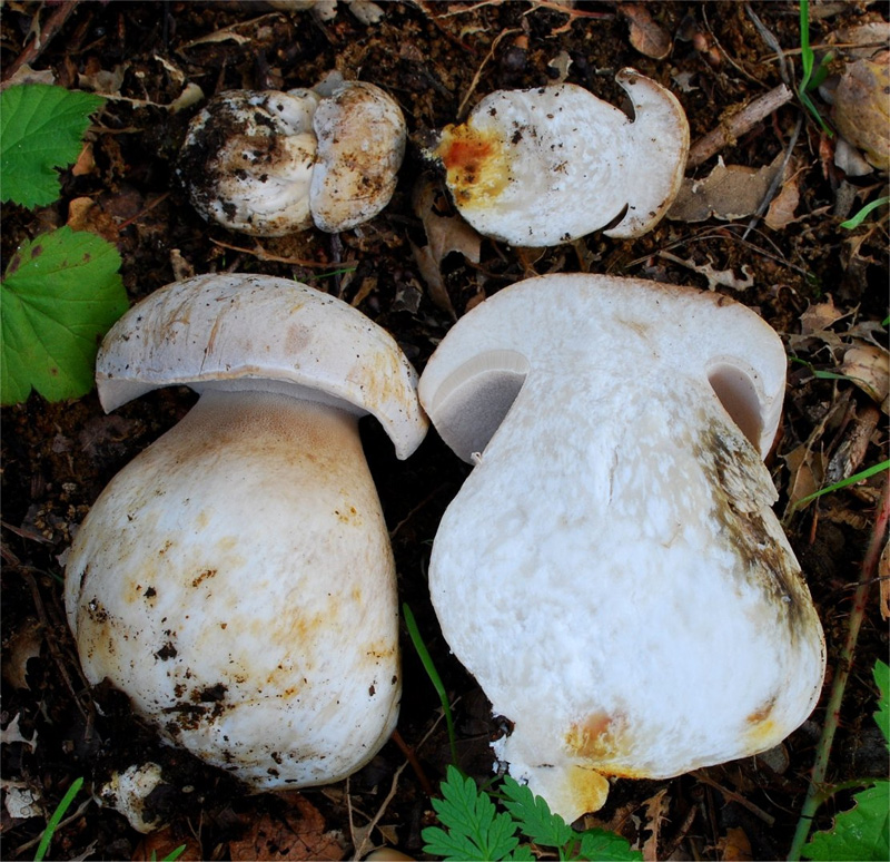 White King Bolete (Boletus barrowsii)