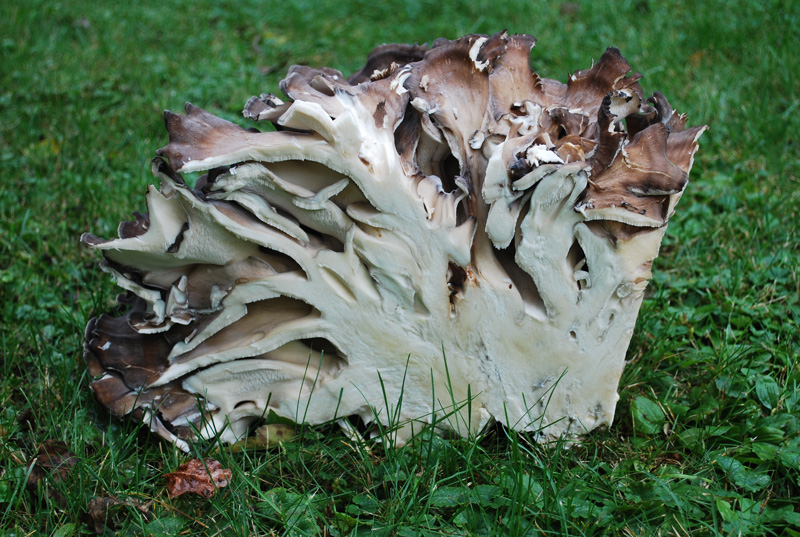 Hen of the Woods, Maitake (Grifola frondosa)