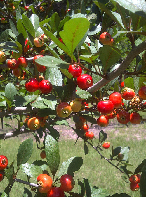 Mayhaw fruit is almost ripe and ready to harvest.