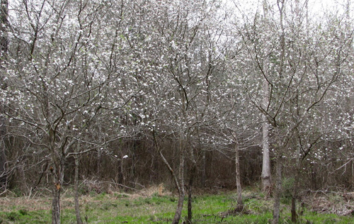 Mayhaw is one of the first bloomers in the Spring.