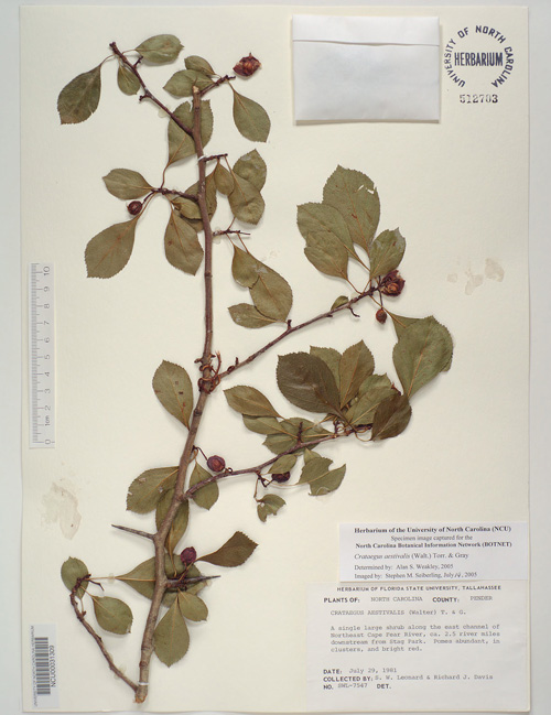 Watch for the thorns on this plant - Herbarium specimen from University of North Carolina