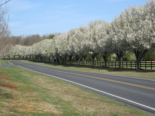 The common Bradford Pear are mistakenly thought to be a European Pear which was bred to stop bearing fruit. In fact, it is a different species of Pear (Pyrus calleryana) native to China and Vietnam.
