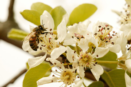 Beautiful Pear flowers attract beneficial insects.