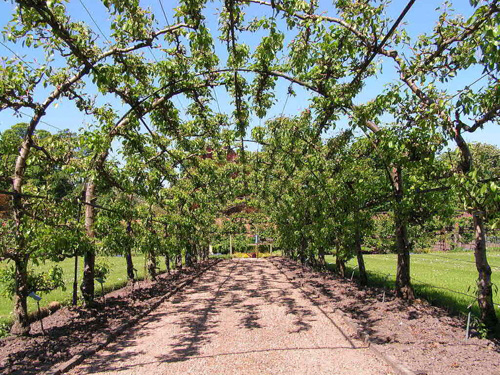 A Pear arbor is a unique design using this tree.