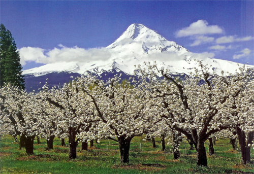 Pear orchard in the Pacific Northwest, USA.