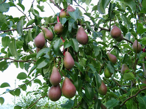 Placement of Pear trees is important to their health and ease of harvest.