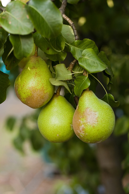 European Pears are one of the most well known fruits in the world.
