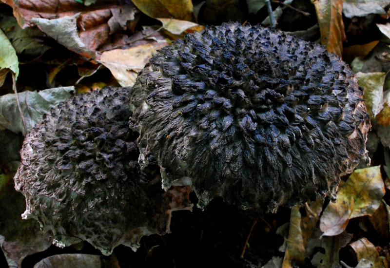 Old Man of the Woods (Strobilomyces strobilaceus)