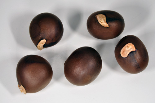 The seeds are edible and are used to make a cooking oil.