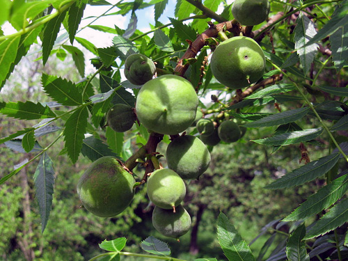 The young leaves are edible and the fruit can be round or pear-shaped.