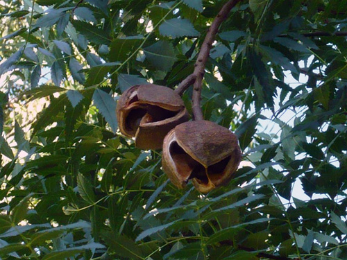 The fruit will dry on the tree and release its seed if allowed.