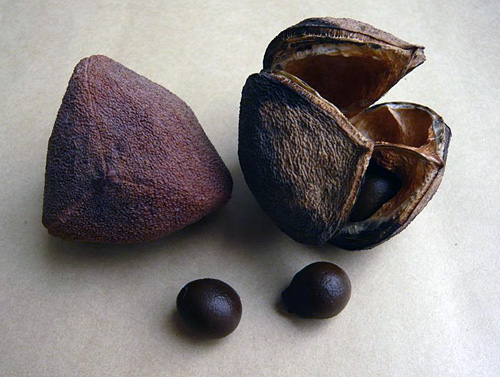 But it seems that most will wait until the fruit starts to turn brown to begin harvest.
