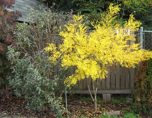 Yellowhorn will turn a brilliant yellow in Autumn.