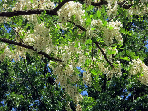 Black Locust... a beautiful tree...