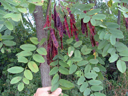 The classic leaves and pods of all legumes.