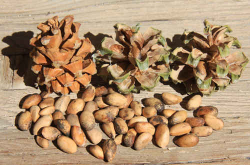 Pine nuts (in shells) from female cones.