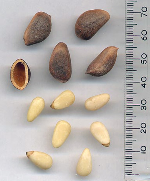 Unshelled and shelled pine nuts.