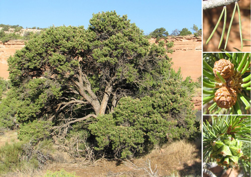 Colorado Pinyon - mature