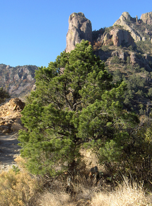 Mexican Pine Tree