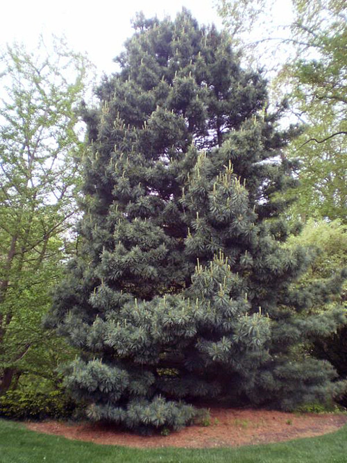 Korean Nut Pine - mature