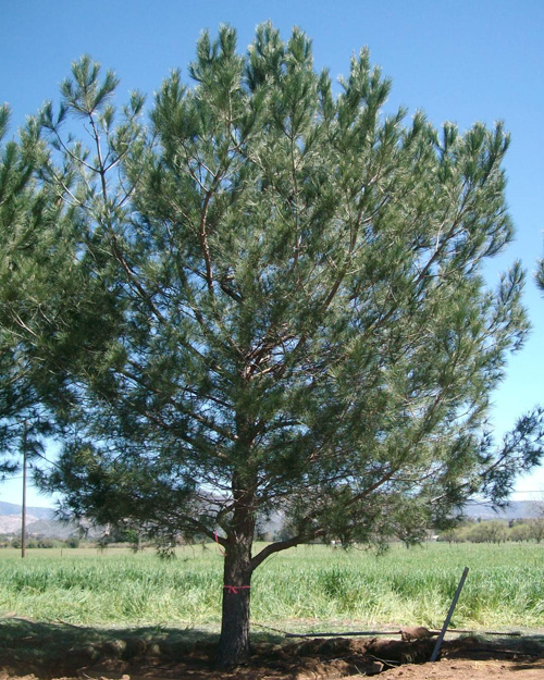 Stone Pine Tree - young