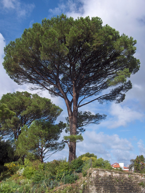 Italian Stone Pine Tree - middle aged (starting to lose the lower branches).