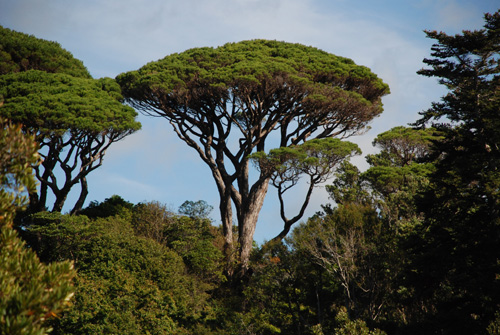 Italian Stone Pine Tree - mature, with its classic umbrella shape.