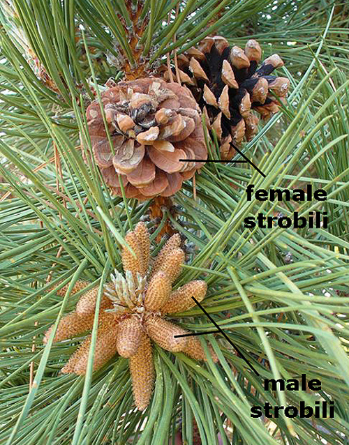 The female cones (strobili) bear nuts, but both male and female cones are needed for production.