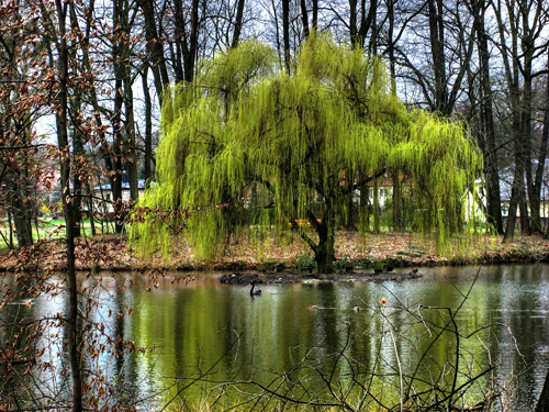 Willow is one of the first trees to leaf out and flower in the Spring, making one of the main early food sources for bees.