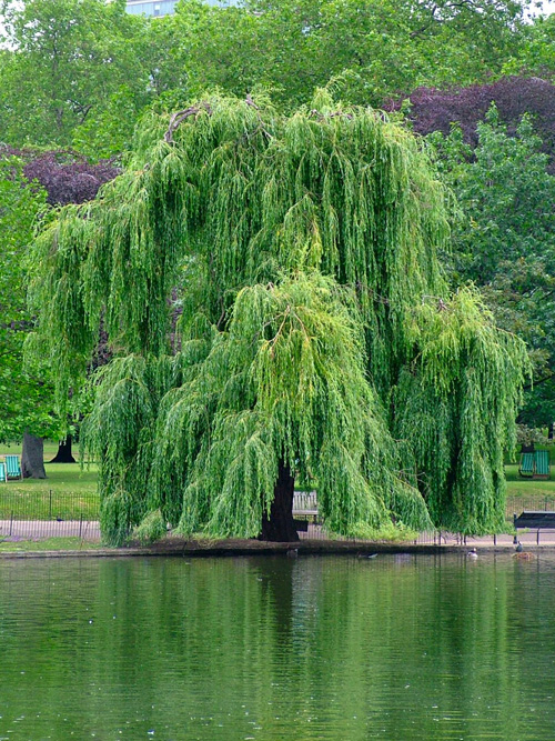 Permaculture Plants Willow Temperate Climate