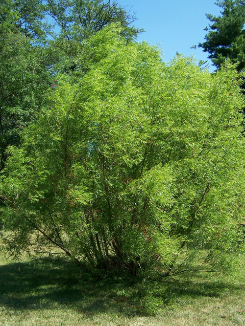Willows can be shrubs or trees.