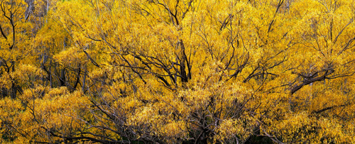 A beautiful Willow in Autumn