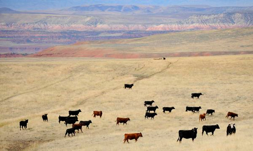 Modern beef cattle are given very large areas, and they spread out a lot.
