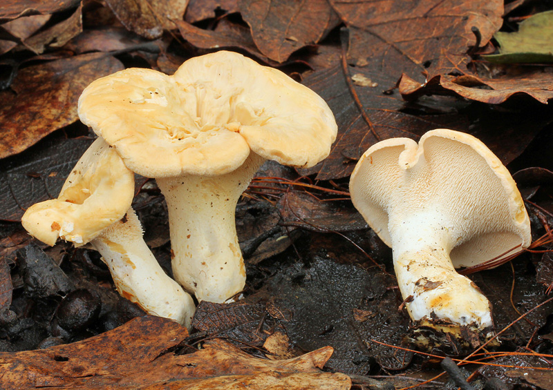 Hedgehog Mushrooms (Hydnum repandum)