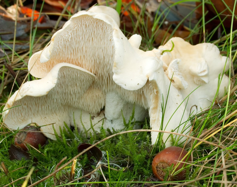 Note the on these Hedgehog Mushrooms (Hydnum repandum)