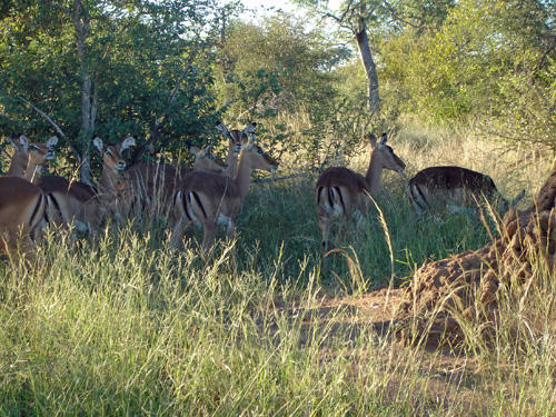 Impalas exhibiting their natural mob-grazing behavior.