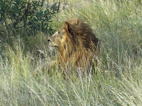 We almost missed seeing this lion until we were less than a dozen yards (11 meters) away!