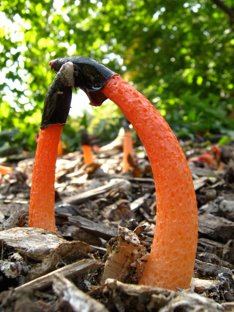 Dog Stinkhorn (Mutinus caninus)