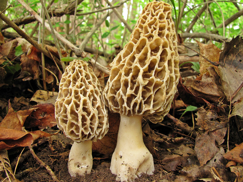 Common Morel (Morchella esculenta)