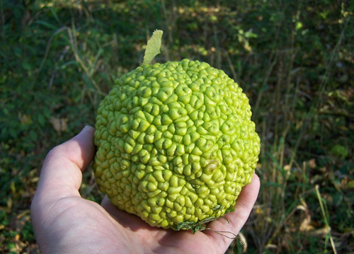 Permaculture Plants: Osage Orange
