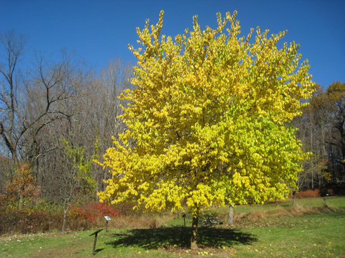 Osage Orange will turn yellow in Autumn, but not always this vibrant.