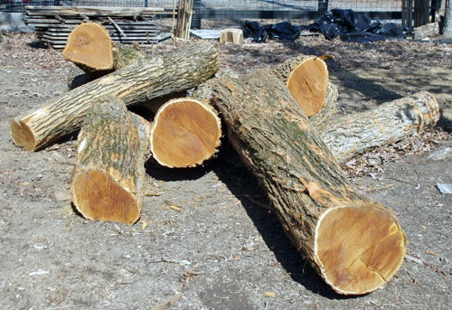 Osage Orange wood may be the best wood in North America for fuel.