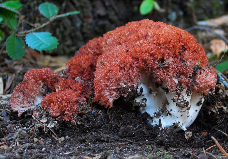 Pink-Tipped or Clustered Coral Mushroom (Ramaria botrytis)