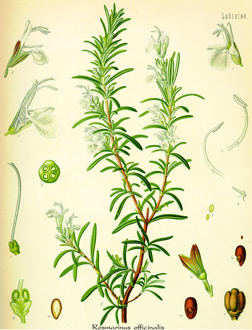 Rosemary (Rosmarinus officinalis) Illustration from Köhler's Medicinal Plants - 1887