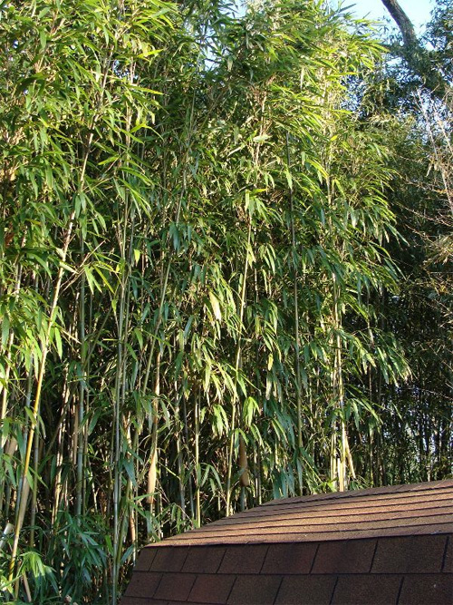 Canebreak Bamboo is a U.S. native Arundinaria gigantea