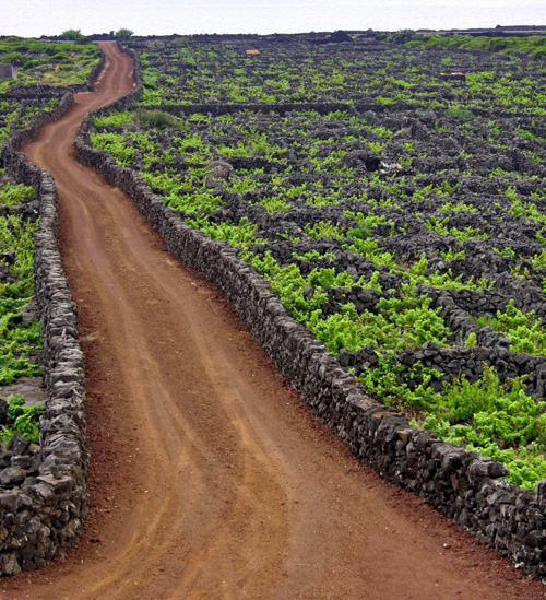 The volcanic rock walls have been used to make small enclosures, like these vineyards...