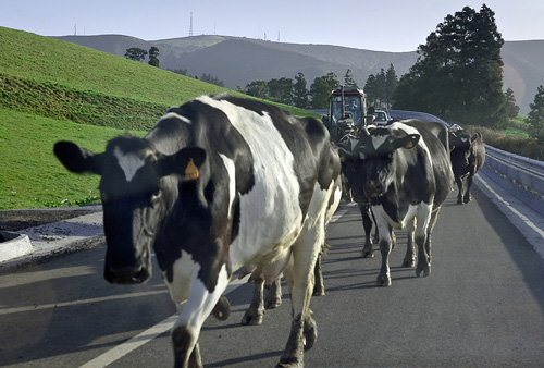"A ""cow jam"" is a common occurrence on my way to work."